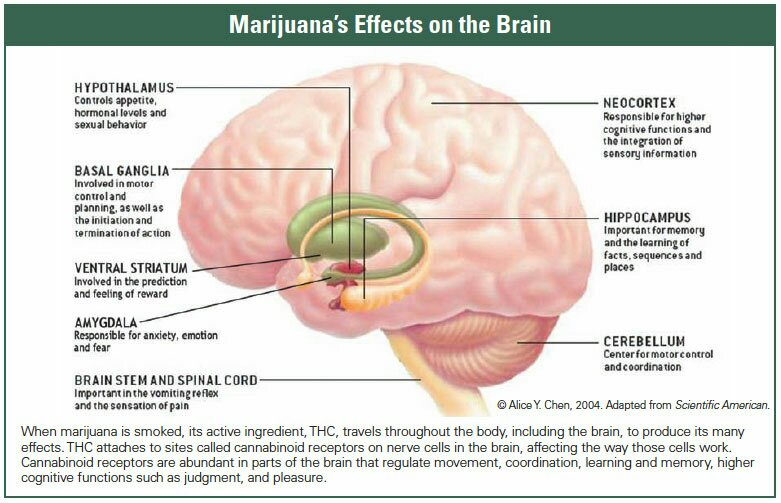 how long does thc affect the brain